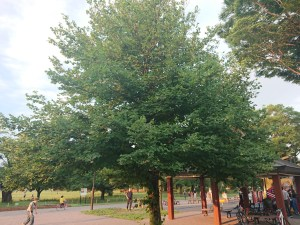 Tilia japonica/ Japanese lime/ シナノキ
