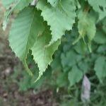 Carpinus laxiflora/ Aka-shide hornbeam / アカシデ