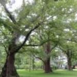 Ulmus davidana var. japonica/ Japanese Elm/ ハルニレ