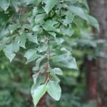 Quercus serrata/ Jolcham oak/ コナラ