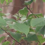 Lagerstroemia subcostata/ Taiwan crepe myrtle/ シマサルスベリ