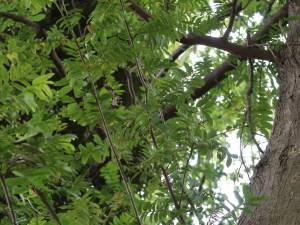 Pterocarya stenoptera/ Chinese wingnut/ シナサワグルミ