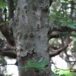 Fagus sylvatica/ European beech/ common beech