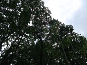 Toxicodendron sylvestre/ ヤマハゼ