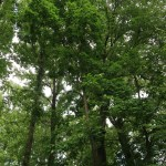 Quercus rubra/ American red oak/ アカガシワ