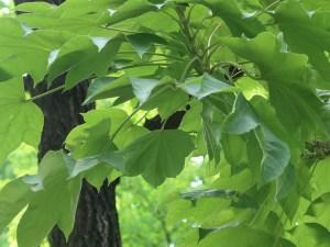 Kalopanax septemlobus/ Prickly castor oil tree/ ハリギリ