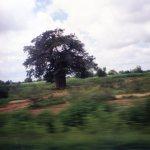 Adansonia/ Baobab/ バオバブ