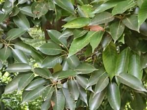 Quercus glauca/ Ring-cupped oak/ アラカシ