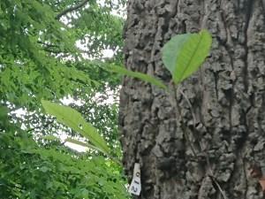 Quercus variabilis/ Chinese cork oak/ アベマキ