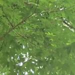 Acer pictum subsp. mono/ Painted maple/ イタヤカエデ エンコウカエデ