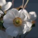 Anemone hupehensis/ Japanese anemone/ シュウメイギク