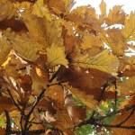 Quercus dentata/ Daimyo oak/ カシワ