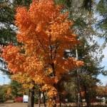 Acer pictum subsp. mono/ Painted maple/ イタヤカエデ エゾイタヤ