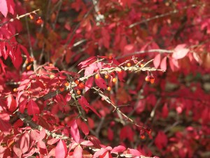 Euonymus alatus/ Winged spindle/ ニシキギ