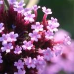 Verbena bonariensis/ Purpletop vervain/ ヤナギハナガサ