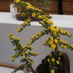 Florist's daisy/ キク 盆栽仕立