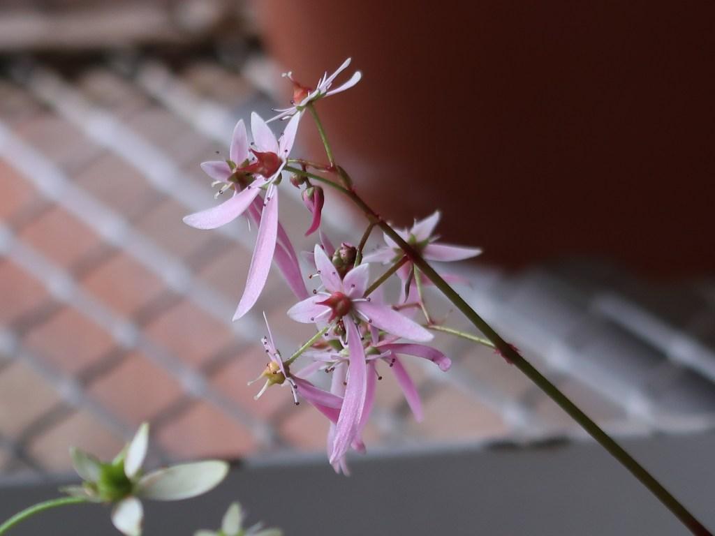 Saxifraga fortunei var. alpina/ Fortune saxifrage/ ダイモンジソウ