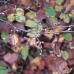 Corylopsis pauciflora/ Buttercup winter-hazel/ ヒュウガミズキ