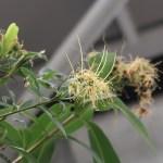 Xanthostemon chrysanthus/ Golden penda/ キサントステモン・クリサンサス