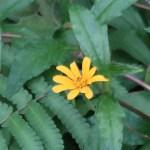 Sphagneticola trilobata/ Singapore Daisy/ アメリカハマグルマ