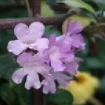Mansoa alliacea/ Garlic vine/ ニンニクカズラ