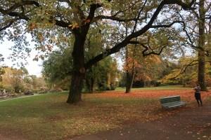 Quercus robur/ Common oak/ ヨーロッパナラ