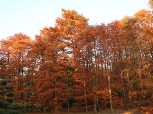 Taxodium distichum/ Bald cypress/ ラクウショウ