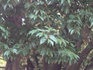 Castanopsis sieboldii/ Itajii chinkapin/ スダジイ