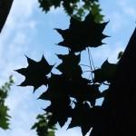 Acer pictum subsp. mono/ Painted maple/ イタヤカエデ