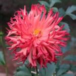 Dahliaダリア Incurved Cactus dahlias (IC) /インカーブド・カクタス 序曲