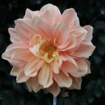 Dahliaダリア Formal Decorative dahlias (FD)/ フォーマル・ディコラティブ グレイスミドルトン