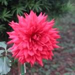 Dahliaダリア Informal Decorative dahlias (ID) / インフォーマル・ディコラティブ クリープコウア