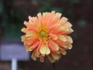 Dahliaダリア Formal Decorative dahlias (FD)/ フォーマル・ディコラティブ ボヘミアンオレンジ