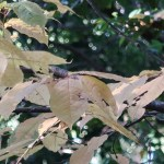 Prunus grayana/ Japanese bird cherry/ ウワミズザクラ 上溝桜