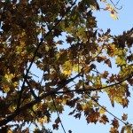 Kalopanax septemlobus/ Prickly castor oil tree/ ハリギリ 針桐