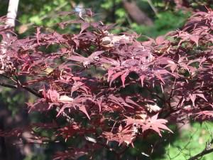 Acer amoenum var. matsumurae/ Japanese maple (yamamomiji)/ ヤマモミジ 猩々