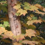 Acer pictum subsp. mono/ Painted maple/ イタヤカエデ オニイタヤ