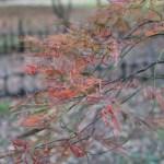 Acer amoenum var. matsumurae/ Japanese maple (yamamomiji)/ ヤマモミジ 外山