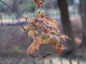 Acer japonicum/ Amur maple/ ハウチワカエデ 舞孔雀