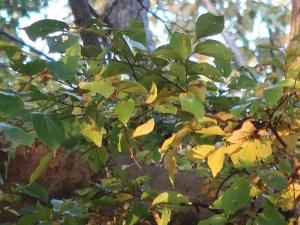 Celtis sinensis/ Chinese hackberry/ エノキ