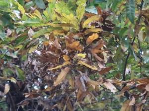 Quercus acutissima/ Sawtooth oak/ クヌギ