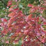Acer buergerianum / Trident maple/ トウカエデ