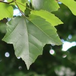 Acer rubrum/ Red maple/ アメリカハナノキ