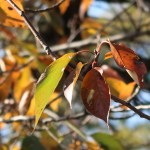 Cerasus lannesiana cv. Kanzan/ Cherry var. Kanzan/ カンザン
