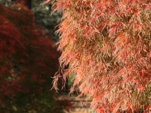 Acer amoenum var. matsumurae/ Japanese maple (yamamomiji)/ ヤマモミジ 手向山