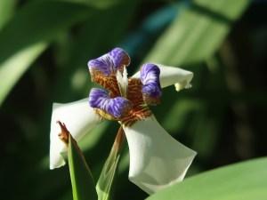 Neomarica northiana/ Walking iris/ アメリカシャガ