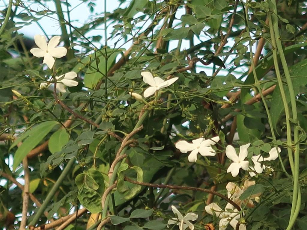 Jasminum grandiflorum/ Spanish jasmine/ オオバナソケイ