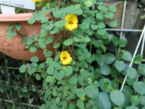 Impatiens repens/ Ceylon balsam/ インパチェンス・レペンス