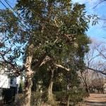Lithocarpus edulis/ Japanese stone oak/ マテバシイ