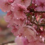 Cerasus campanulata 'Yoko'/ Cherry var.Youkou/ ヨウコウ 陽光桜